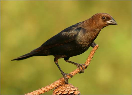 Scientists identify neural basis for parasitic cowbird's secret password