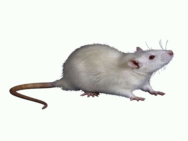 8 people infected in rare U.S. outbreak of rat virus