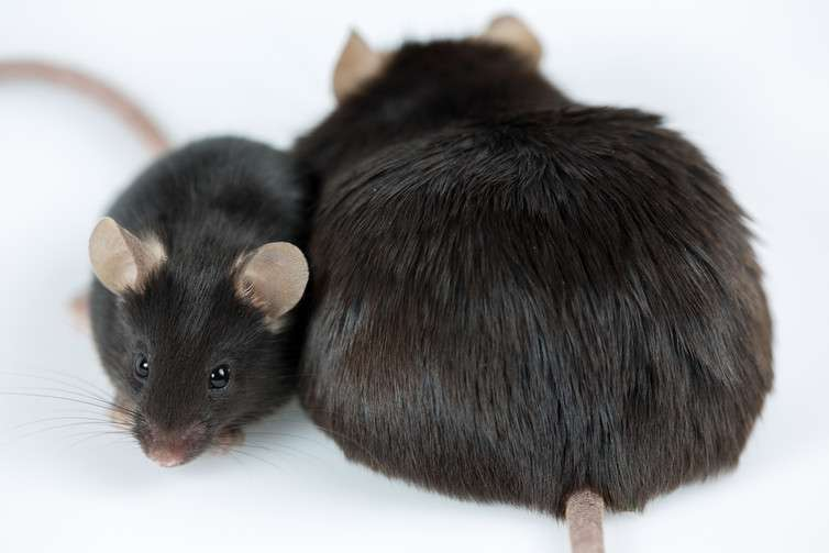 Manipulating a type of brain cell gets weight loss results in mice