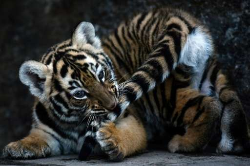 A 45-day-old bengal tiger cub is pictured at its enclosure at the Wild Shelter Foundation in Jayaque, 40 kilometres west of San