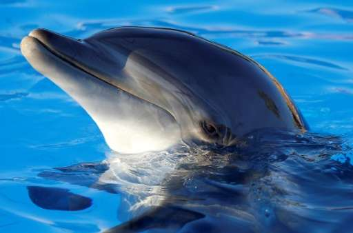 A dolphin performs on August 11, 2013 at the Marineland animal exhibition park in the French Riviera city of Antibes, southeaste