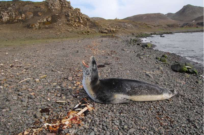 Aerial drone photos can yield accurate measurements of leopard seals