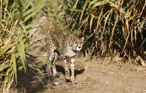 A female Asiatic Cheetah named 'Dalbar' walks in an enclosure at the Pardisan Park in Tehran