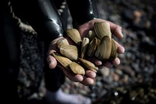 A fisherman shows saltwater clams known as 'machas' (Mesodesma Donacium) after collecting them from the shore at a beach in La S