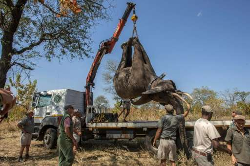 African Parks officials load elephants into a truck, to be translocated from Majete Game Reserve in southern Malawi to Nkhotakot