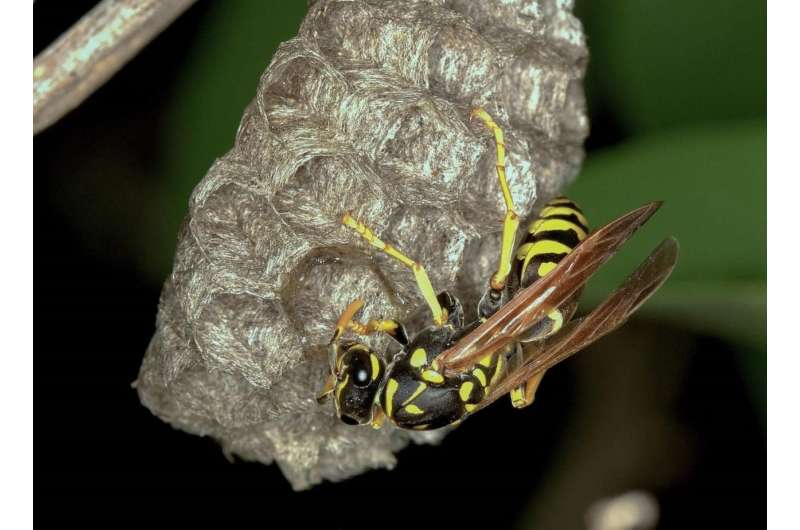 A genus of European paper wasps revised for the first time using integrative taxonomy