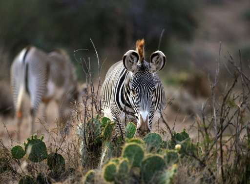 A Grevy's zebra, a threatened species, grazes in the Loisaba wildlife conservancy in northern Laikpia where wildlife is losing g
