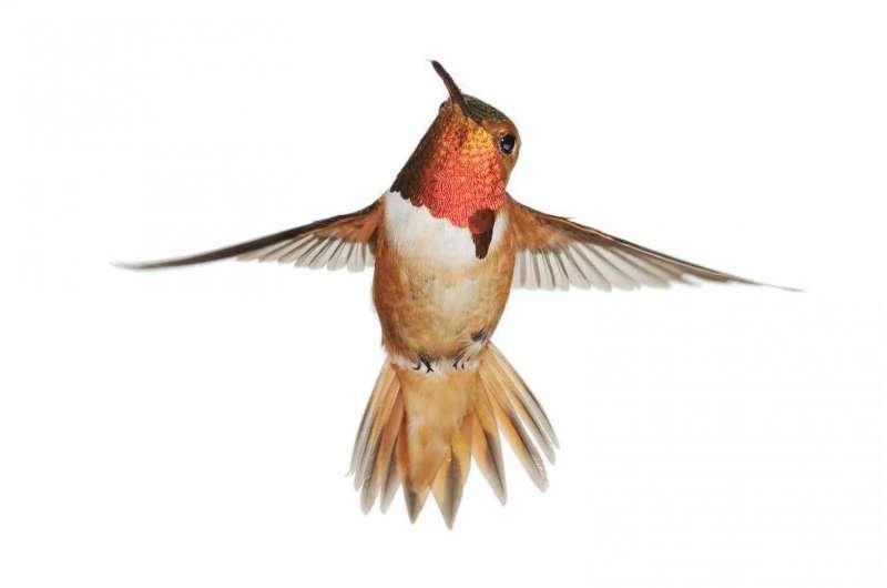 Allen's Hummingbird boom missed by breeding bird surveys