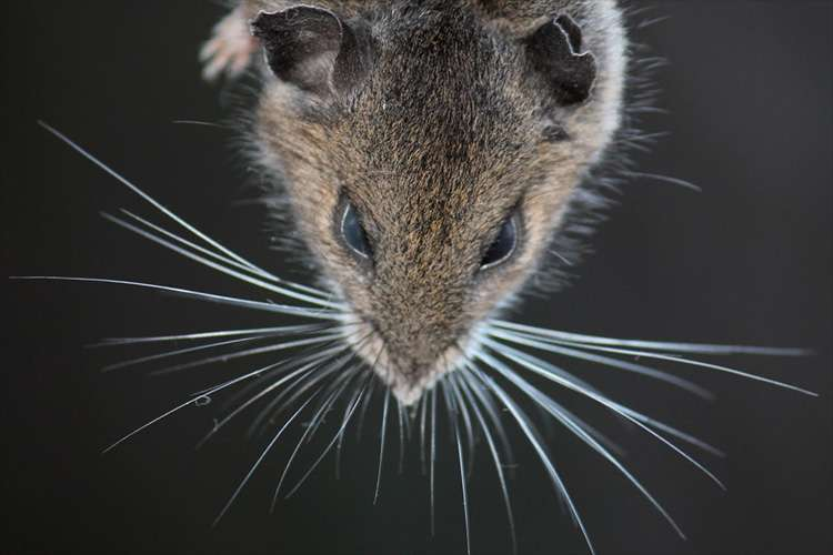 A mouse's view of the world, seen through its whiskers