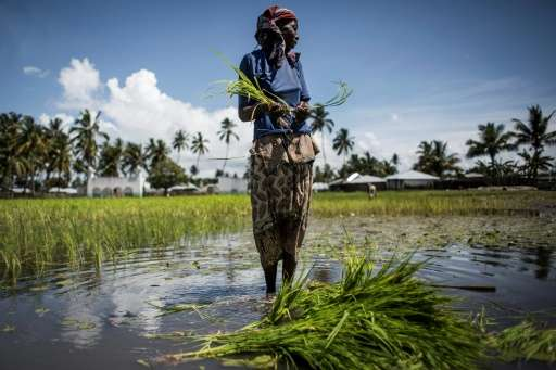 A Mozambican woman working in a rice paddy in Palma, where large deposits of natural gas where found offshore
