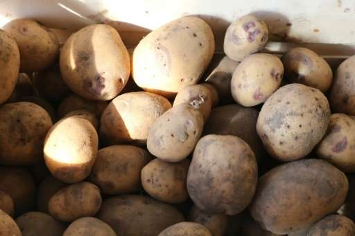 """A new study says the introduction of potatoes and the resultant increase in productivity """"dramatically reduced conflict&quo"""