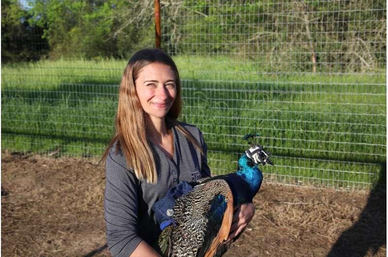 Animal behaviorist looks through the eyes of peafowl
