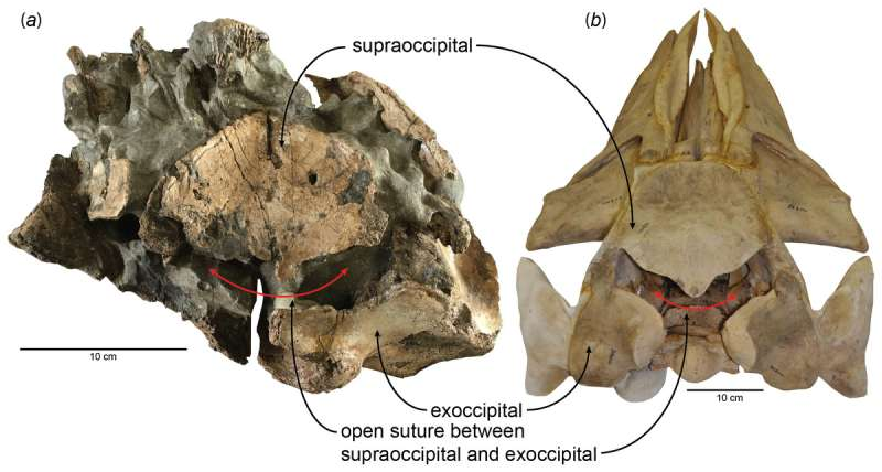 A potential breeding site of a Miocene era baleen whale