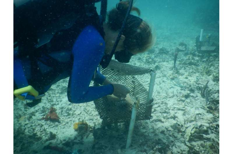 Are tiny grazers the new hope for Caribbean reefs?