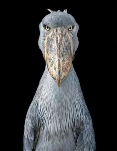 """A Shoebill looks straight into Tim Flach's camera in this picture part of the book """"Endangered"""""""