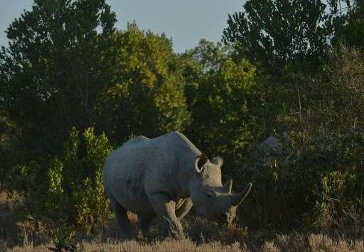 -A southern white rhinoceros, seen here in Kenya