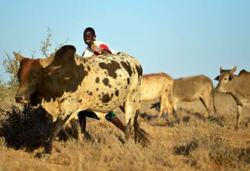 As pastoralist populations in Kenya have grown so have their herds, grazing sparse pasture into desert