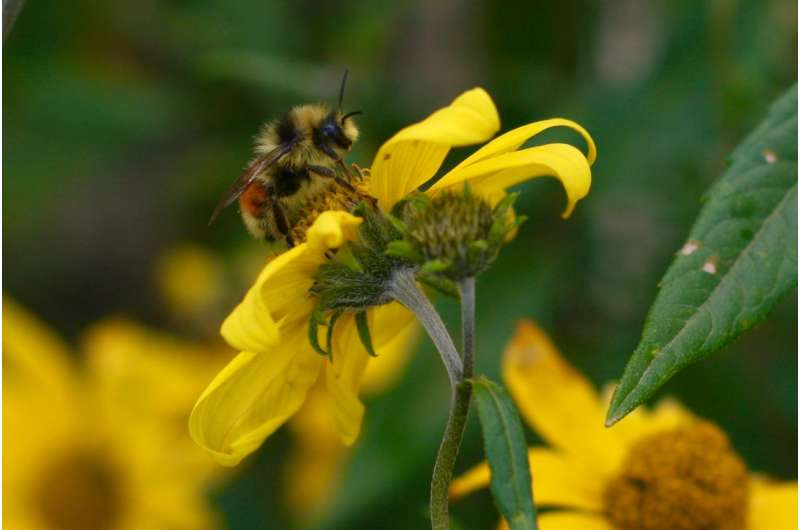A stinging report: FSU reserach shows climate change a major threat to bumble bees