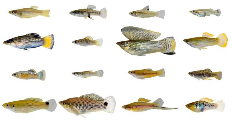 A tale of two fishes: Biologists find male, female live-bearing fish evolve differently