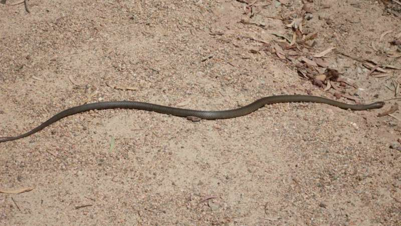 Aussie snakes and lizards trace back to Asia 30 million years ago