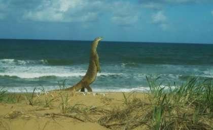 Australian lizards take toll on turtle eggs