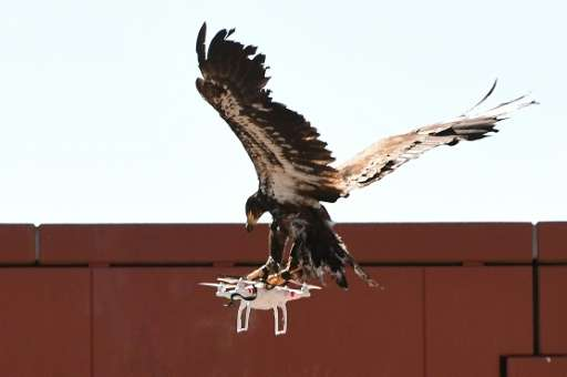 A young eagle trained to catch drones displays its skills at the Dutch Police Academy in Ossendrecht, Netherlands