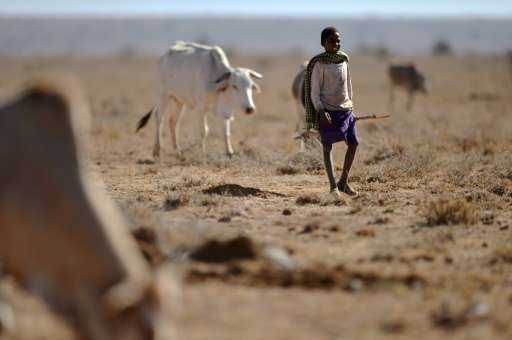 A young herder from the Samburu pastoral community grazes his family cattle on the dwindling pasture of the Loisaba wildlife con