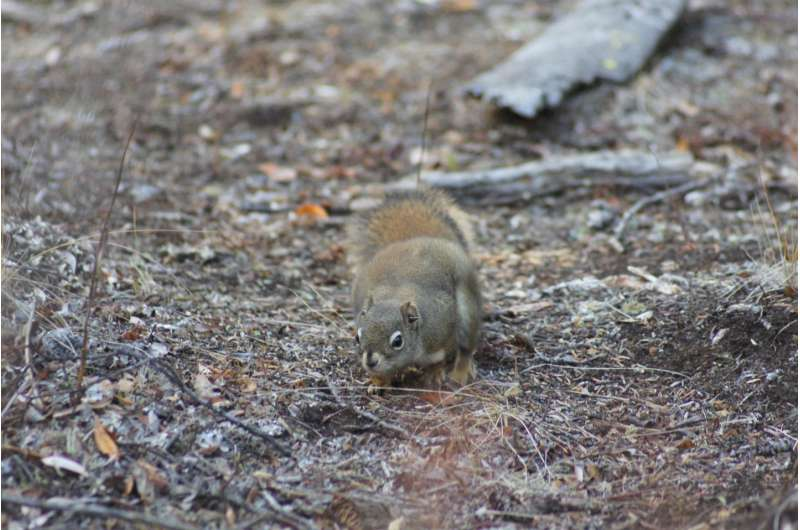 Baby boomer squirrels master tricky timing