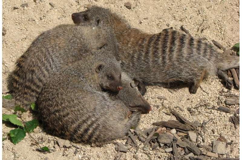 Banded mongoose Mungos mungo