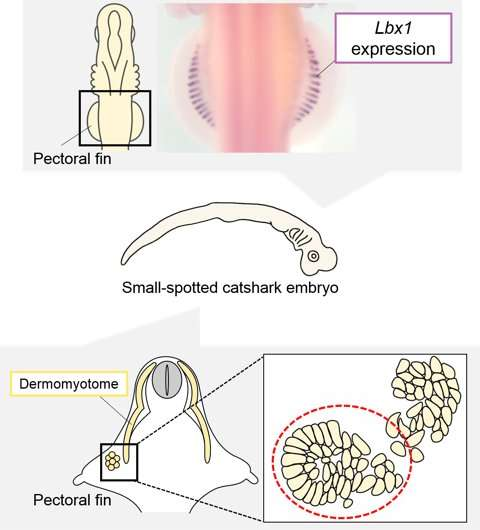 Basis of development of vertebrate limb muscles has been established in cartilaginous fishes