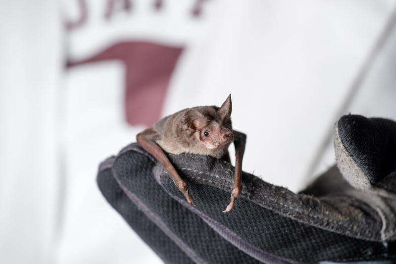 Bats avoid collisions by calling less in a crowd