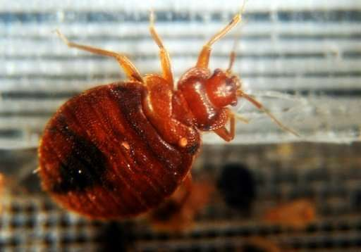 Bed bugs seek out our worn clothes, a new study has shown