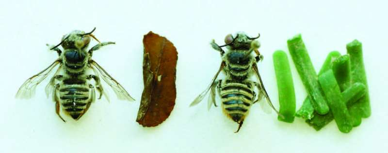 Bee species with little known nesting-behavior observed to use plastic instead of leaves