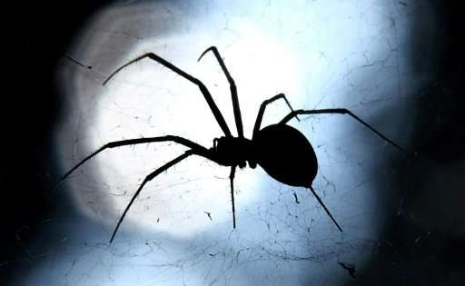 Big spiders may look scarier, but little ones often pack the most venom
