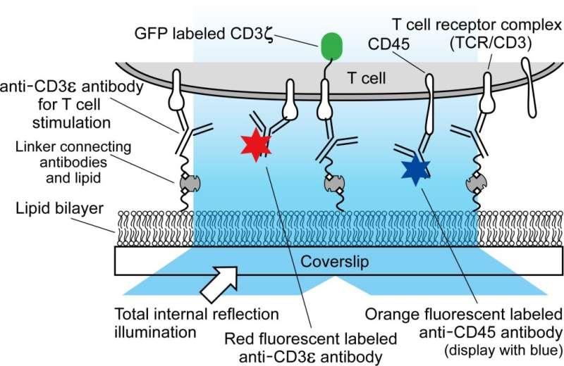Biophysics explains how immune cells kill bacteria