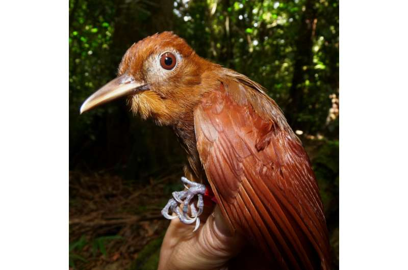 Birds of all feathers work together to hunt when army ants march