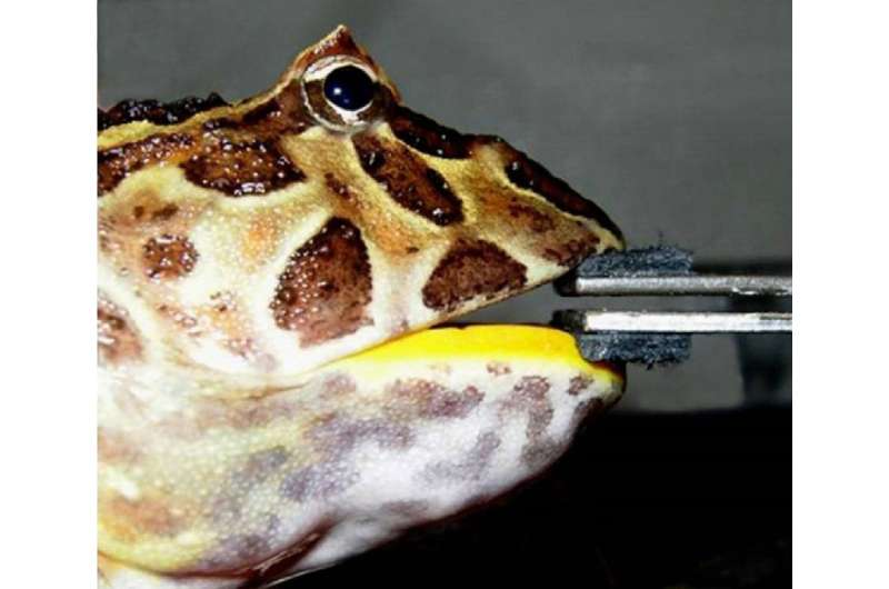 Bite force research reveals dinosaur-eating frog
