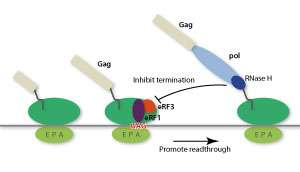 Blocking mechanism used by a mysterious class of retroviruses to force hosts to allow them to replicate