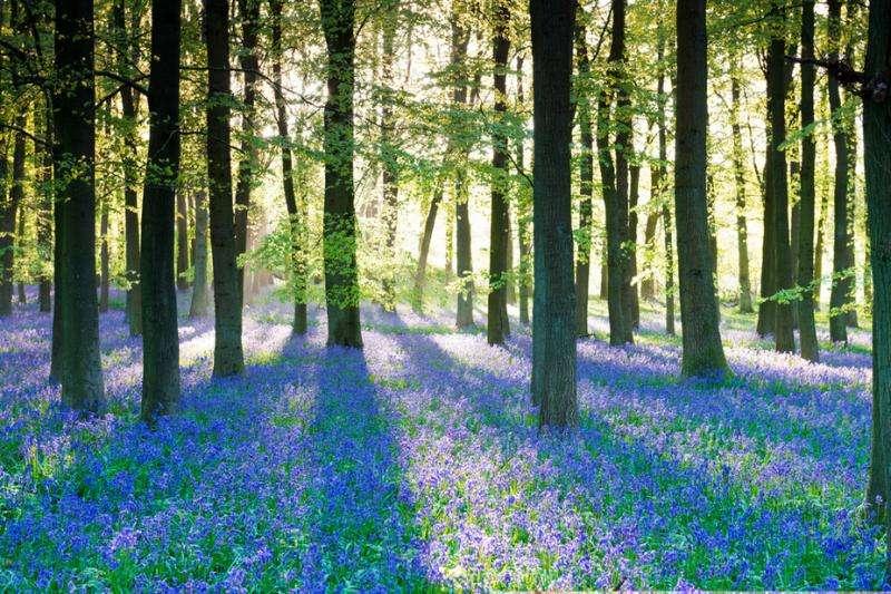 Bloomageddon—seven clever ways bluebells win the woodland turf war