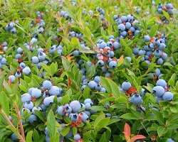 Blueberries may improve attention in children following double-blind trial