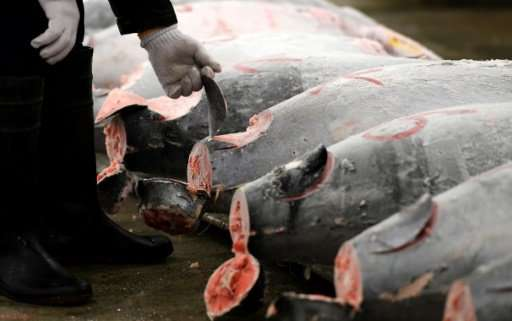 Bluefin tuna—which can grow to the size of a small car, and swim nearly as fast—underpins a billion dollar business and is a cul