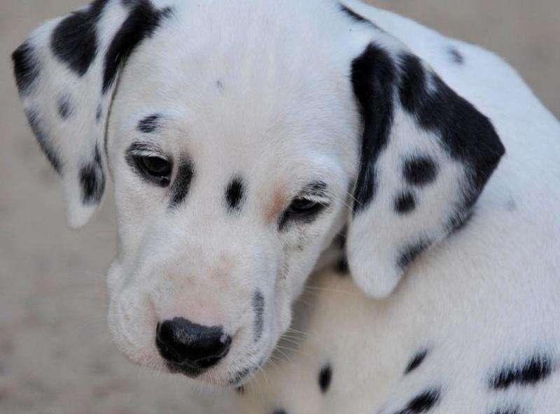 Breathtaking gene discovery in Dalmatian dogs