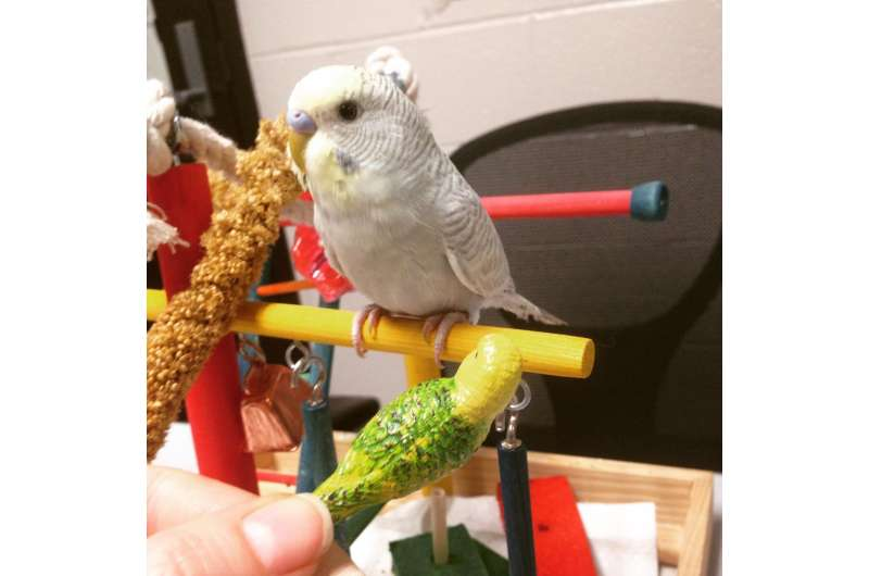 Budgerigars can identify spoken sounds without prior exposure to human speech