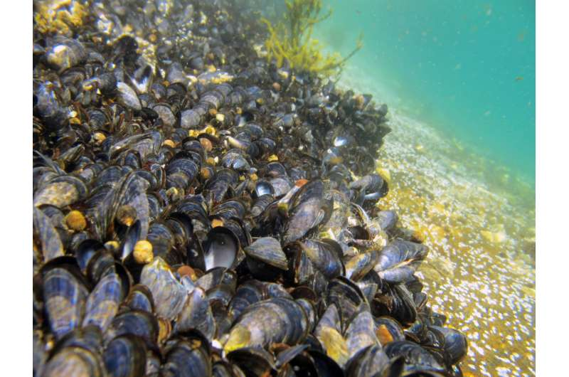 Caged blue mussels as environmental detectives