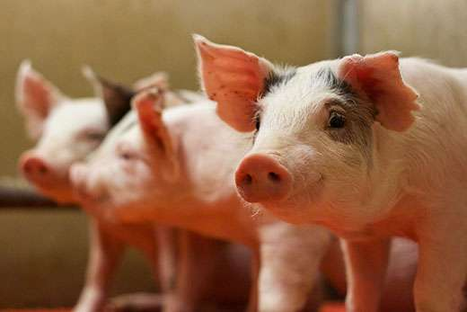 Calcium to phosphorus ratio in pig diets established by new study