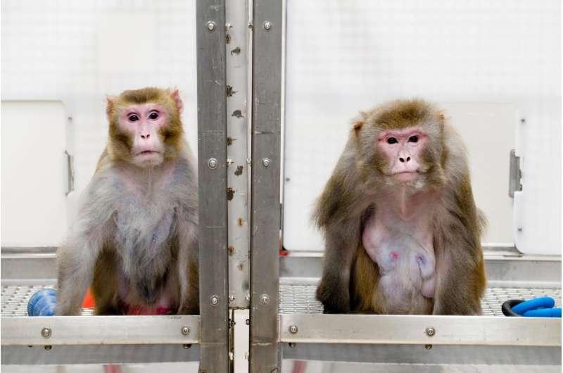 Calorie restriction lets monkeys live long and prosper