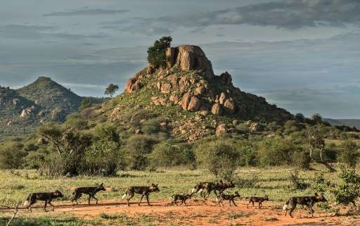 Canine distemper, thought to be spread by dogs belonging to semi-nomadic herders, has devastated the region's wild dog populatio