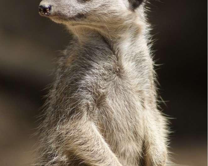Captive meerkats at risk of stress
