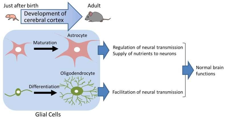 CD38 gene is identified to be important in postnatal development of the cerebral cortex