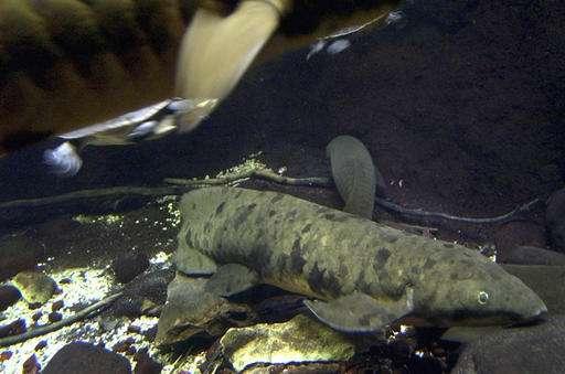 Chicago aquarium euthanizes more than 90-year-old lungfish